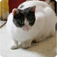 Domestic Shorthair Cat for adoption in Dallas, Texas - MAME