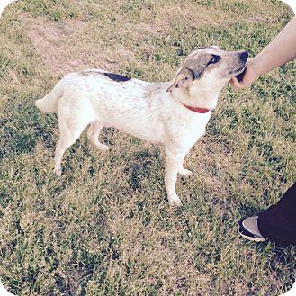 Blue Heeler Mix Dog for adoption in West Hartford, Connecticut - Kyle