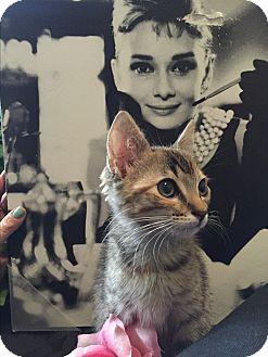 Domestic Shorthair Kitten for adoption in Brentwood, New York - Hillary