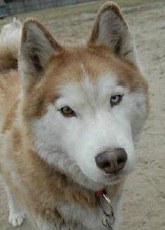 Siberian Husky Dog for adoption in Raleigh, North Carolina - Loki
