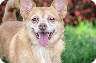 Chihuahua Mix Dog for adoption in Gainesville, Florida - Ryan