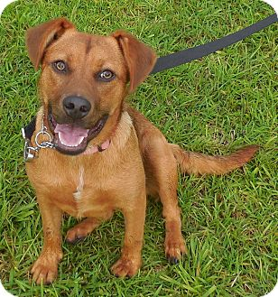 Retriever (Unknown Type) Mix Dog for adoption in Sumter, South Carolina - HANNAH
