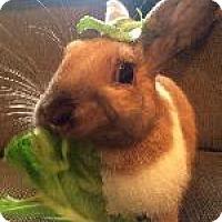 Adopt A Pet :: Acacia - Woburn, MA