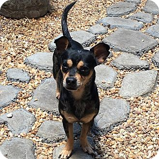 Chihuahua/Dachshund Mix Dog for adoption in Melbourne, Florida - Merle