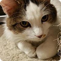 Adopt A Pet :: Chloe Angel Face - Chandler, AZ