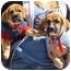 Photo 3 - Beagle/Boxer Mix Puppy for adoption in Spring Valley, California - Beagle/Boxer Pups