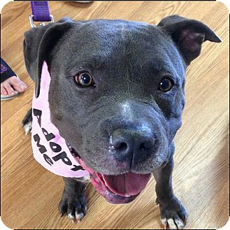 American Pit Bull Terrier Mix Dog for adoption in Oakland Gardens, New York - Duchess
