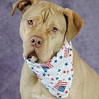 Dogue de Bordeaux Mix Dog for adoption in Seabrook, New Hampshire - Leonidas