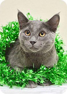 Domestic Shorthair Kitten for adoption in Dublin, California - Buzz