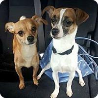 Adopt A Pet :: Monkey & Tango ~ Varsity Sweater Boys! - Caldwell, NJ