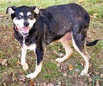 Shepherd (Unknown Type)/Terrier (Unknown Type, Medium) Mix Dog for adoption in Enfield, Connecticut - Hazel
