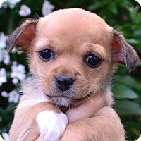 Adopt A Pet :: Jesse - Sunnyvale, CA