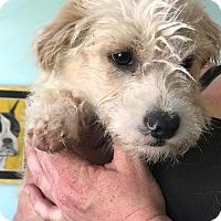 Adopt A Pet :: Bam Bam - San Francisco, CA