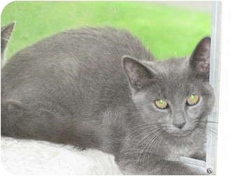 Russian Blue Kitten for adoption in Oxford, Connecticut - I've Got the Blues