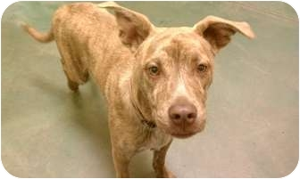 Pit Bull Terrier Mix Dog for adoption in Fresno, California - Bisquit