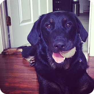 Rottweiler/Labrador Retriever Mix Dog for adoption in Surrey, British Columbia - Lucy