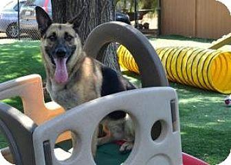 German Shepherd Dog Dog for adoption in San Diego, California - Jersey
