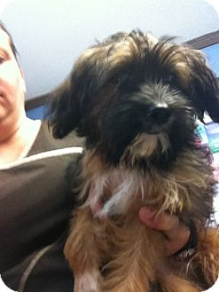 Terrier (Unknown Type, Small)/Yorkie, Yorkshire Terrier Mix Puppy for adoption in Indian Trail, North Carolina - Ellis
