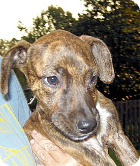 Labrador Retriever Mix Puppy for adoption in Marietta, Georgia - Ellie