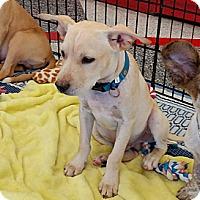 Adopt A Pet :: Lennon - Phoenix, AZ