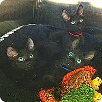 Adopt A Pet :: Wynken, Blynken and Nod - Gilbert, AZ