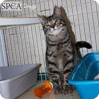Domestic Shorthair Cat for adoption in Elizabeth City, North Carolina - Dregs
