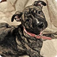 Adopt A Pet :: Astoria - Allen, TX