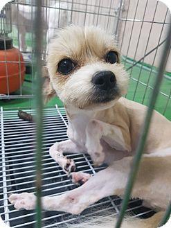 Yorkie, Yorkshire Terrier Mix Dog for adoption in Fairfax, Virginia - Minnie