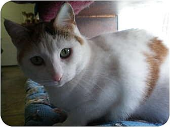 Domestic Shorthair Cat for adoption in House Springs, Missouri - Mia
