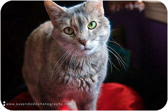 Domestic Shorthair Cat for adoption in Colmar, Pennsylvania - Jewely