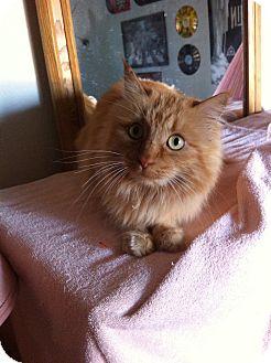 Domestic Longhair Cat for adoption in Fountain Hills, Arizona - LEONA