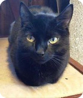 Domestic Shorthair Cat for adoption in Putnam, Connecticut - Prancer