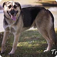English Shepherd/Husky Mix Dog for adoption in Pryor, Oklahoma - Trogen