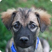 Adopt A Pet :: Hansel - Bedminster, NJ