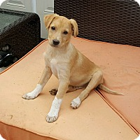 Adopt A Pet :: Bartles - New Oxford, PA