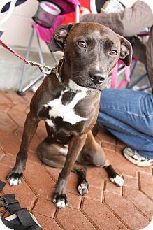 Whippet/Labrador Retriever Mix Dog for adoption in Alpharetta, Georgia - Bren