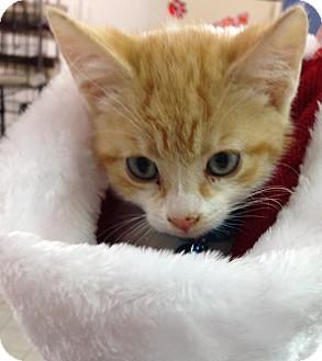 Domestic Shorthair Kitten for adoption in Aiken, South Carolina - Chase