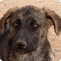 Adopt A Pet :: Sydney - Las Cruces, NM