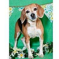 Adopt A Pet :: Cream Cheese - Phoenix, AZ