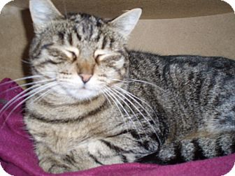 Domestic Shorthair Cat for adoption in Quilcene, Washington - Lottie