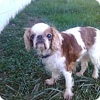 Adopt A Pet :: Penny - Cumberland, MD