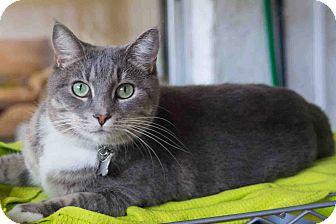 Domestic Shorthair Cat for adoption in New Port Richey, Florida - Ella