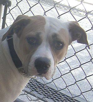 American Staffordshire Terrier/Staffordshire Bull Terrier Mix Dog for adoption in Lodi, California - Destiny