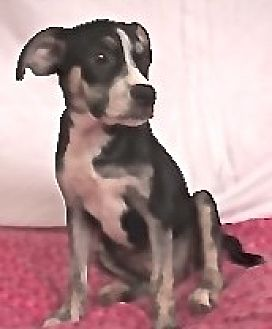 Labrador Retriever/Boxer Mix Puppy for adoption in San Diego, California - Lizzy