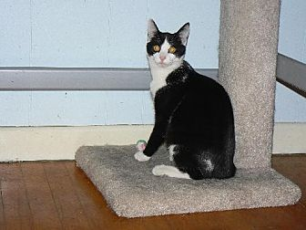 Domestic Shorthair Cat for adoption in Jenkintown, Pennsylvania - Roman - VIDEO!!