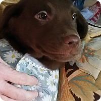 Adopt A Pet :: Godiva - Wilmington, DE