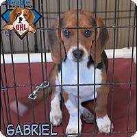Adopt A Pet :: Gabriel - Yardley, PA