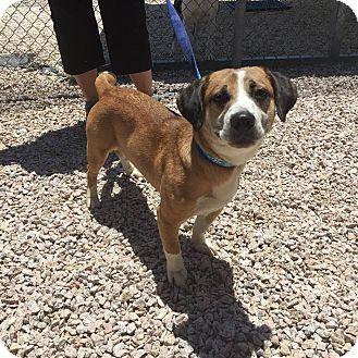 Basset Hound/Beagle Mix Dog for adoption in Concord, North Carolina - Ezra