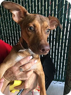 Chihuahua/Miniature Pinscher Mix Dog for adoption in Boynton Beach, Florida - Peanut