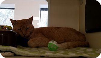 Domestic Shorthair Cat for adoption in Gloucester, Massachusetts - Pumkin